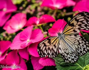 Butterfly on Pink Flowers Photograph