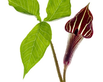 Fine Art photograph of Jack-in-the-pulpit