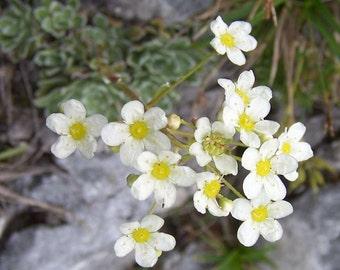 10 Seeds Saxifraga paniculata , Rockfoi Seeds