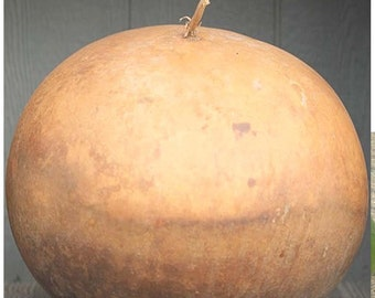 5 x Bushel Gourd Seed, RARE Lagenaria siceraria, GIANT Gourd weighing up to 100 LBs & 5 Feet in Diameter - Perfect For Crafts