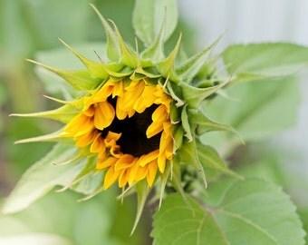 Sunflower Art, Nursery Decor, Sunflower Photography Print, Picture of a Sunflower, Photo of Sunflowers, Country Wall Art