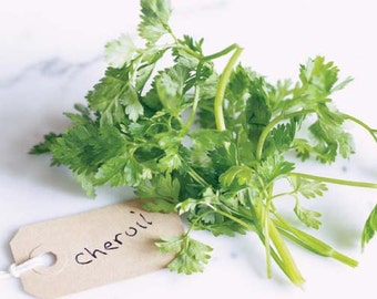 Culinary Herb - Chervil (100% Heirloom/Non-Hybrid/Non-GMO)