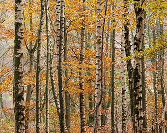 Silver birches in autumn, Grasmere, Lake District
