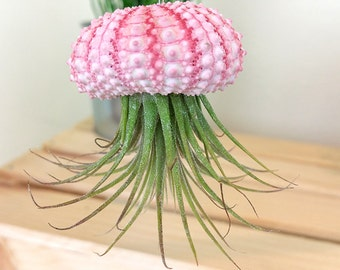 valentine's day tillandsia airplants ionantha jellyfish sea urchin decoration