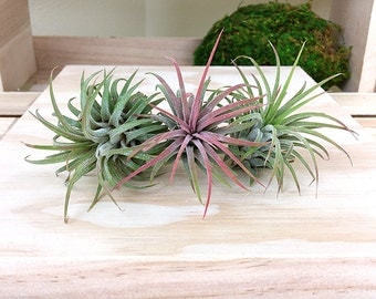 3 tillandsia airplants ionantha rubra set