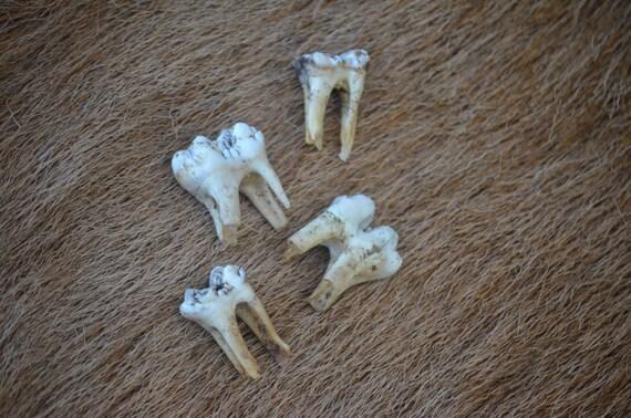 Wild boar molars, set of 4