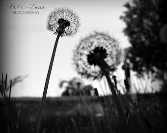 Black Dandelions, Greeting Card, Blank  Inside, Fine Art Photography, Nature and Flowers,  4 X 6
