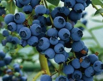 Blueberry Northern Highbush Seeds (Vaccinium corymbosum) 50+Seeds