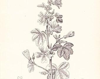 1894 Botany Print - Malva Sylvestria - Vintage Home Decor Plant Art Illustration Great for Framing 100 Years Old