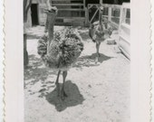 1940s OSTRICHES Run Toward Camera - snapshot 493-A