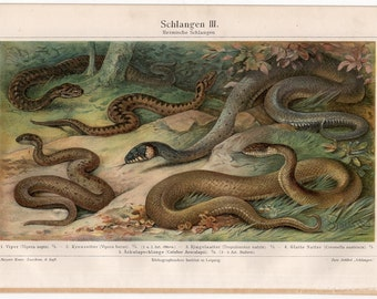 1894 snakes original antique reptile serpent print - asp viper adder grass water snake colubrid racer