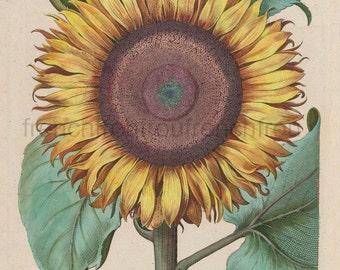 antique french botanical print sunflower illustration DIGITAL DOWNLOAD