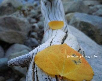 "Nature Photography, Macro Photography, Aspen Leaves, Fall Color, Autumn,Driftwood,River stones, Gold, Blue, White, ""Aspen Heart"", Aspen Tree"