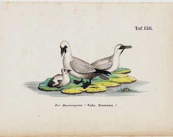 1854 Antique BIRD print, seagull family with their chick