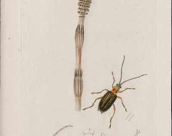 1824 Antique PLANT and INSECT print, Cornfield Horsetail