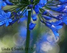 Floral Photography - Blue Agapanthus Floral Art Photo - Bokeh Blue Floral Printable Art - Blue Flowers Digital Download