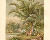 1913 Sago Palm, Metroxylon sagu Antique Chromolithograph