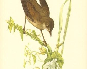 1953 Savi's Warbler - Locustella luscinioides Vintage Offset Lithograph