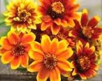 SALE Zinnias Annual Persian Carpet Cutting Garden Bouquet Fresh Flowers Heirloom Seeds