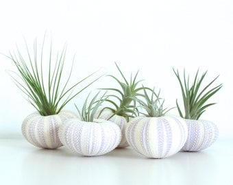 Purple Urchin Air Plant Planter with Air Plant