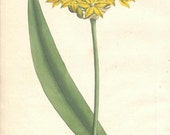 Antique Botanical Hand-colored Engraving, William Curtis, Yellow Garlic, 1800