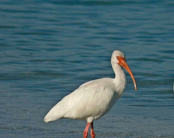 White Ibis, Photography, Bird Photography, Nature Photography, Beach Photography