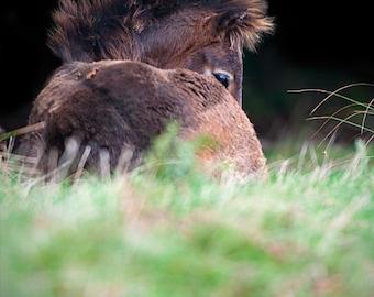 Horse photo, foal photo, baby animal, equine art, fine art photo, exmoor pony, nursery decor