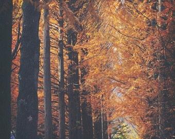 Metasequoia Tunnel - Photographic print -  wanderlust, travel, bohemian, orange, redwood, asia, korea, sequoia 12 x 12, 16 x 16, 20 x 20