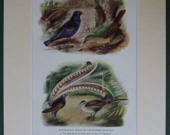 Vintage Ornithology Art Print of Courting Birds Mating Rituals Satin Bower Bird Lyre Bird wall art vintage bird print old bird illustration