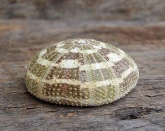 "Alfonso Gator Sea Urchin 2.5 - 3"" (1 pc) - Shell Supply - Airplant Shell - Beach Wedding and Decor - Craft Supplies - Bulk Shells"