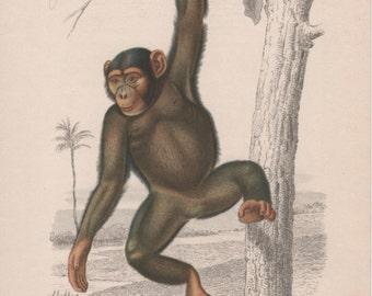 Primate Illustration, Pan troglodytes Chimpanzee, 1950 Vintage Pharmaceutical Ad from Laboratori Maestretti Milano Italy, Inocarbol