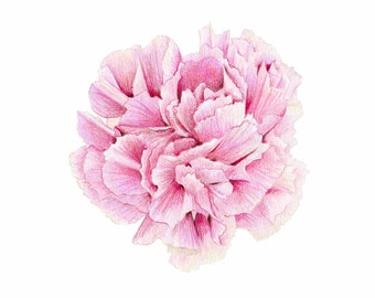 Pink Carnation // Botanical Illustration // Floral, Pink