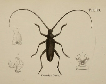 1854 Antique print of a BEETLE. Coleoptera. Beetles. Entomology. 160 years old engraving
