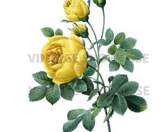Yellow Rose Instant High Resolution Digital Download by Redoute No.2505