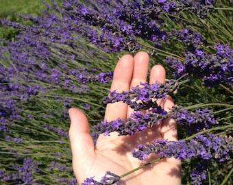Culinary Lavender Lavandula angustifolia grown in Ontario Canada