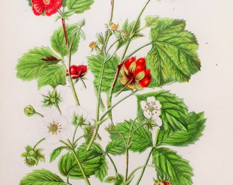 Anne Pratt Antique Botanical Print - Cinquefoil, Raspberry, Strawberry, Bramble (68)