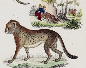 1854 Original Antique WILD CAT print, Pantera, Cheetah, Gazelle