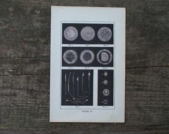 1893 - Sperm & Egg - Antique Anatomical Print