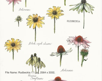 Hand painted botanical study: Rudbeckia.