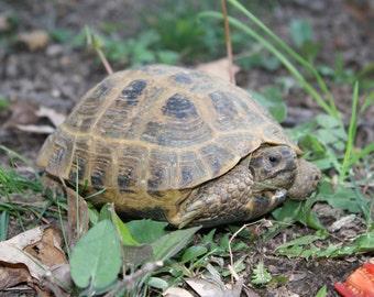 Jack's turtle