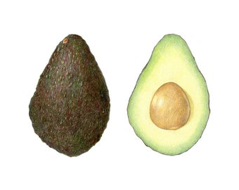 Avocado - Archival print of my colored pencil drawing