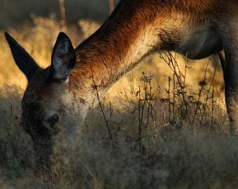 """It's Still Early, Deer - 15"""" x 10"""" Print"""