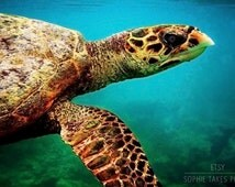 Turtle wall art, turtle canvas, sea turtle, turquoise, green, blue, animal photography, underwater wall art, large wall art, 16x24, 24x36