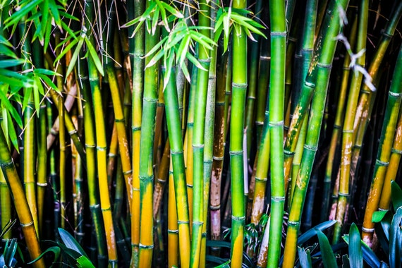 green yellow bamboo stalks large wall art spa decor canvas