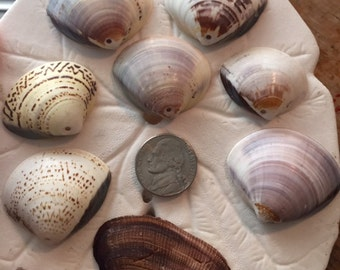 Top center drilled natural genuine ocean small clam sea shell lot of 8