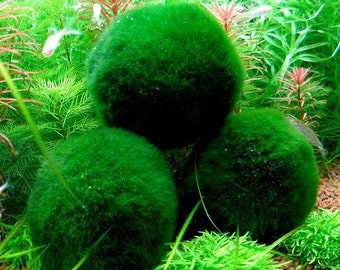 3 Giant Living Marimo Moss Balls (~2 Inches)! Live Cladophora Aquarium Aquatic Plant for Terrarium or Fish Tank or, 8-15 years old