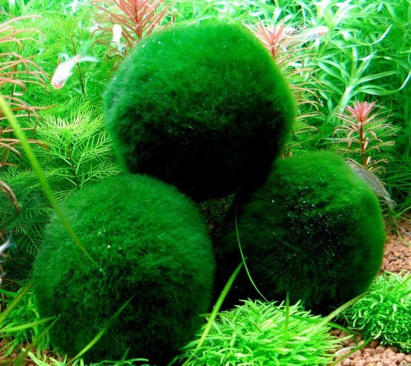 3 giant living marimo moss balls 2 inches live cladophora for Marimo moss ball