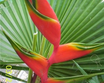 Heliconia Halloween live rhizome tropical plant exotic flower