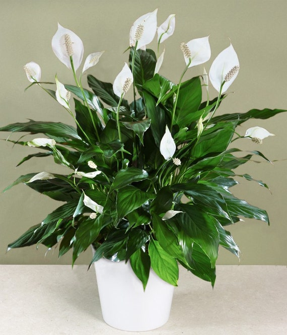 HousePlants4U: PEACE LILY - SPATHIPHYLLUM Houseplant