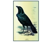 Vintage Raven Print Crow Print Wild Bird ~ Blackbird Black Bird Print ~ Antique Black Crow Bird Art ~ Black Raven Illustration Bird Drawing